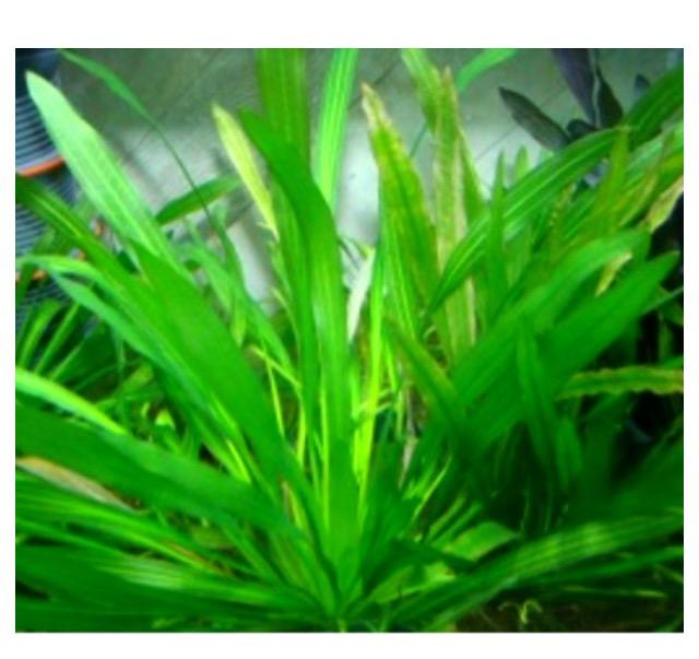 水草エキノドルスの仲間。アマゾンソード他4種。