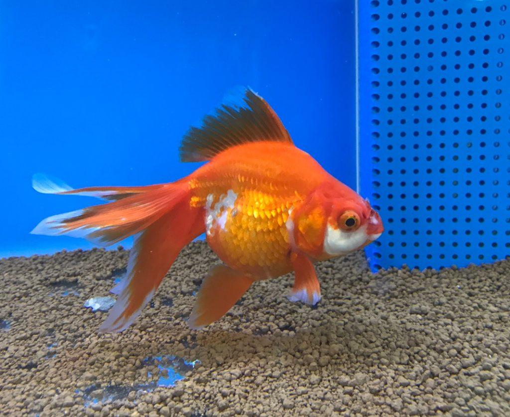 魚の治療part1  琉金の穴あき病