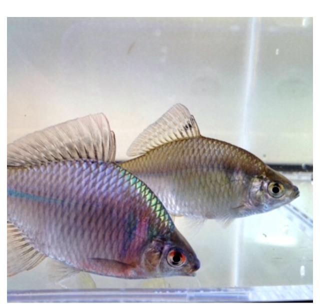 ◆常温水槽で金魚と一緒に飼えそうな生体との相性とは?どんな混泳してますか?