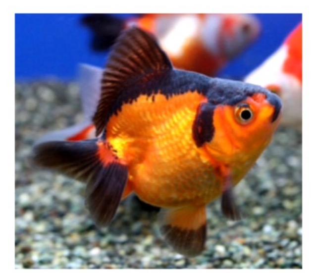 金魚の色。すあか?キャリコ?独特な言い回し。