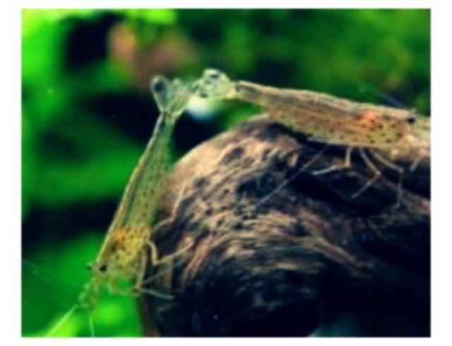 ◆『ミナミヌマエビ』と『ヤマトヌマエビ』何がちがうの?どっち入れる??特徴や違いからみる選び方とは。
