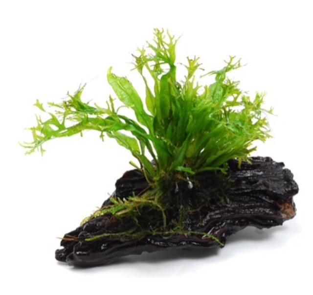 ◆置くだけ水草で水槽お手軽イメージチェンジ。『流木付き』や『素焼き鉢入り水草』