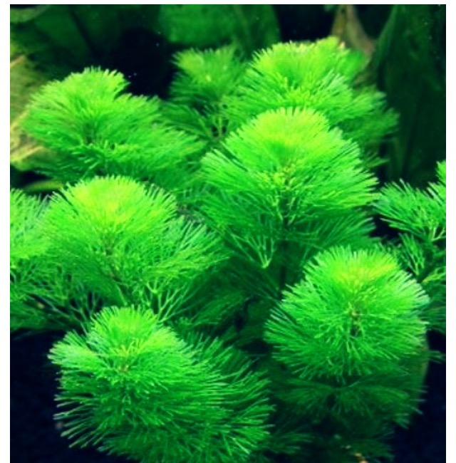 ◆アナカリスとカボンバ。どちらも金魚藻だが、何が違うのか?