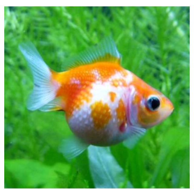 ◆『どんぶり金魚』という品種はいない?