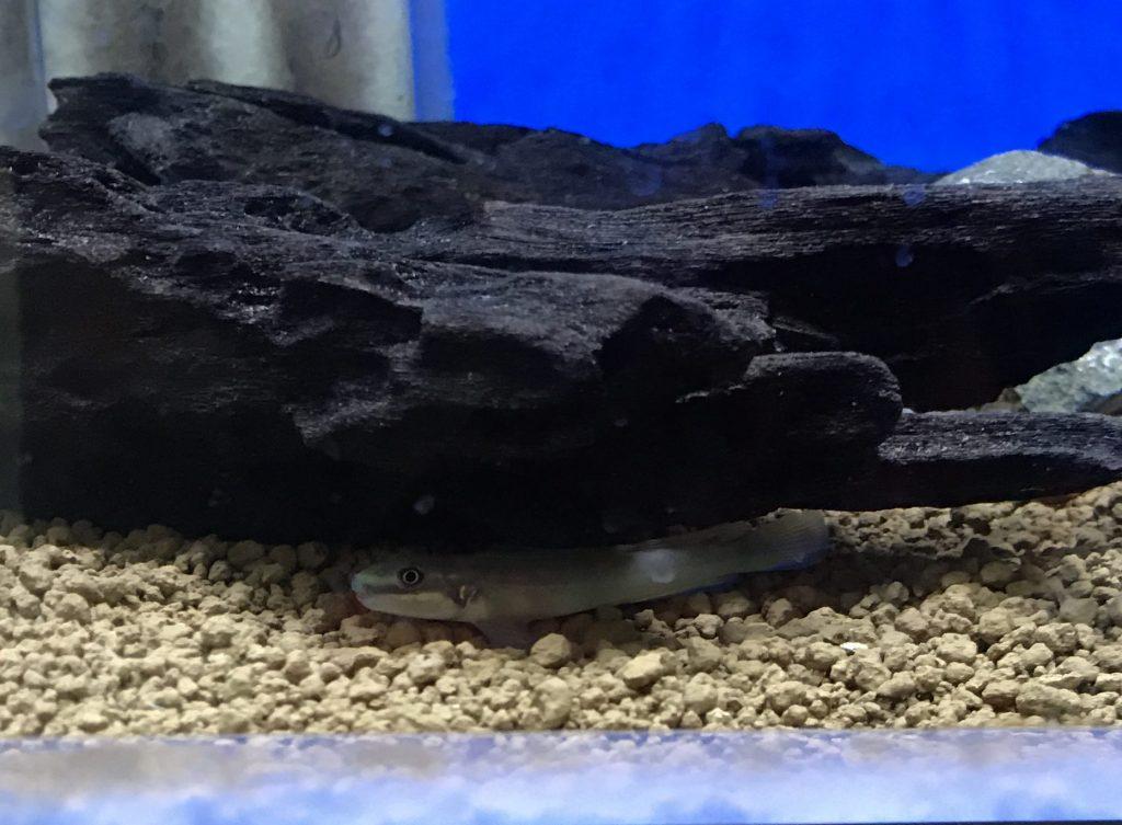 熱帯魚入荷Part1  ハゼ型シクリッド登場