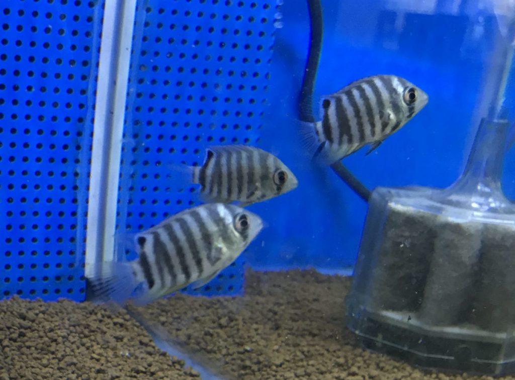 熱帯魚入荷part2, 子供セベラムや、南米生息の中型ハゼなど