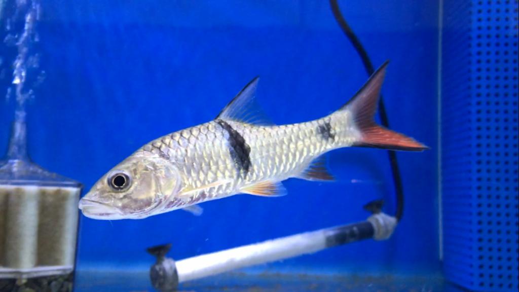 熱帯魚入荷part3, 小枝に擬態する魚。恐竜みたいな魚。外国の鯉。