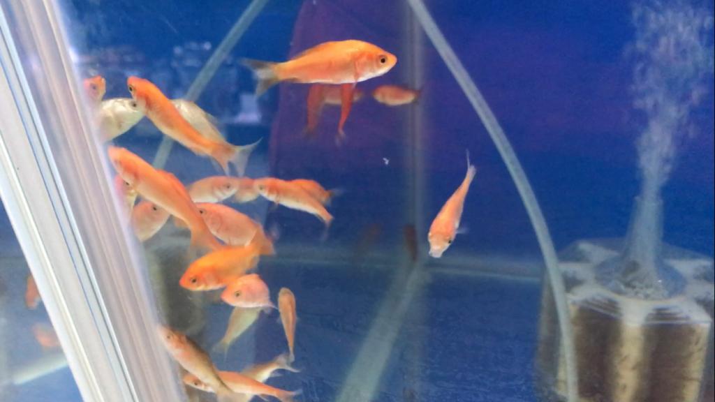 お祭りで金魚をすくってしまったらどうする?まず1晩、乗り越えるには。