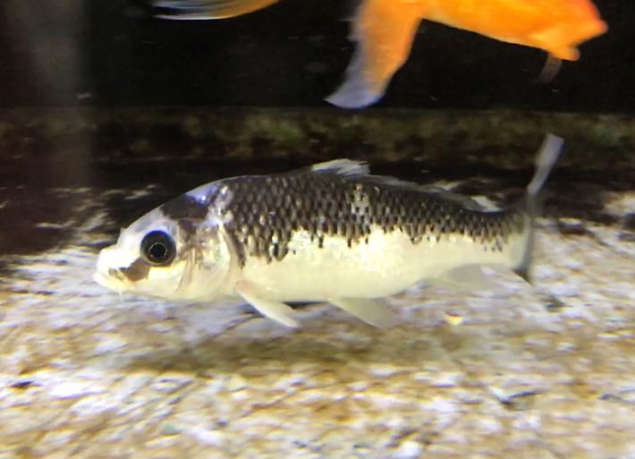 錦鯉入荷part5 瓜二つ【写り物】と【べっ甲】はココが違った!えっ?化ける鯉がいる?