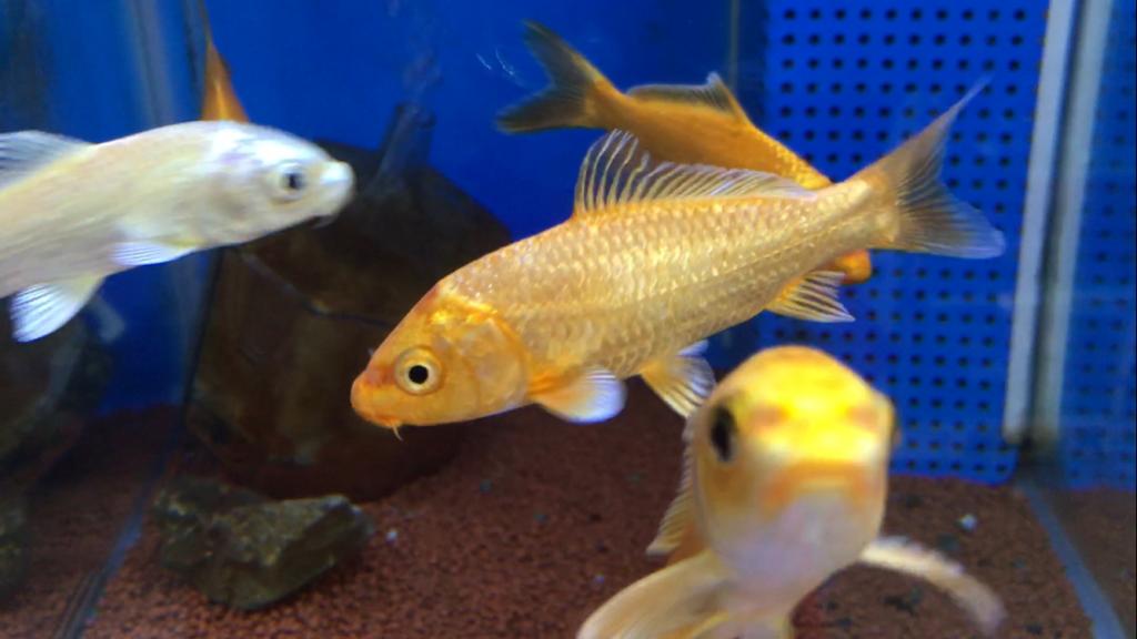 ◆錦鯉と熱帯魚を一緒に飼う!オリジナル混泳水槽を作ろう。