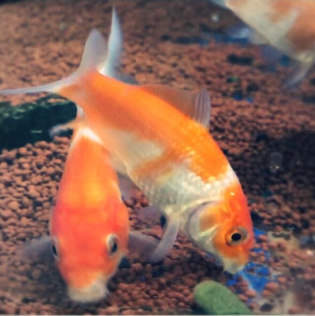 ◆『金魚』と『錦鯉』は一緒に飼えるのか?失敗を減らせるコツとは。