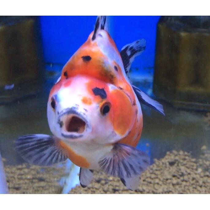 ◆魚がポツポツと死んでしまう理由とは・・・。病気の姿は確認できない?金魚やメダカ、熱帯魚で起こる悩み。