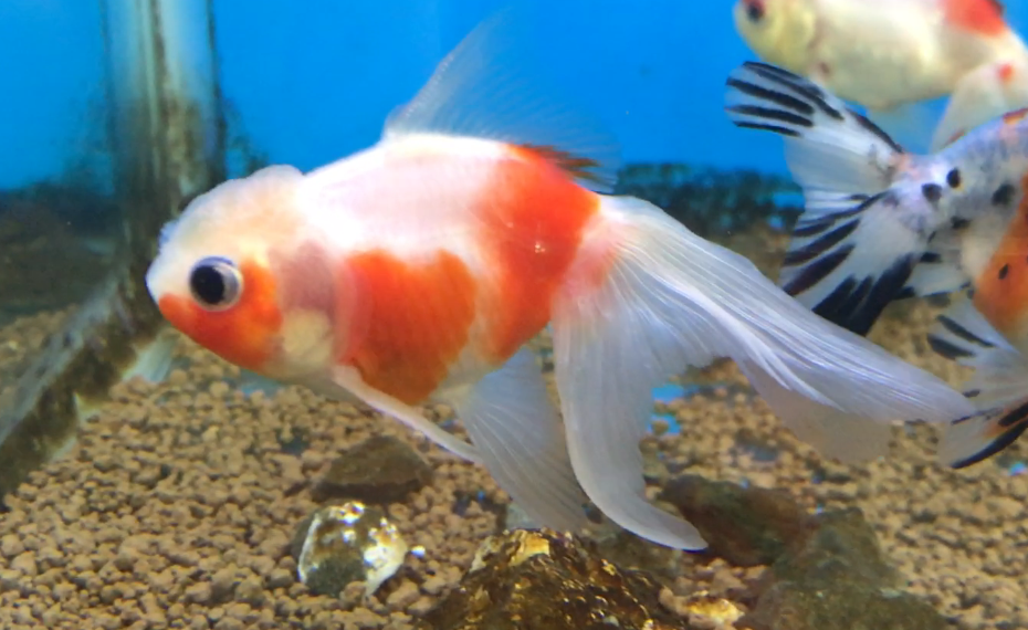 熱帯魚・金魚の大きさを知る。『全長』と『体長』の違い。
