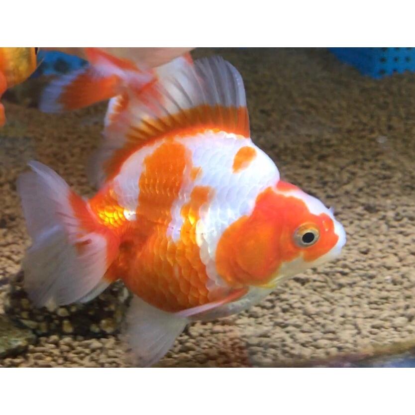 ◆金魚の大きさは決まっていない。飼育環境による成長のちがい。水槽に合わせて巨大化の限界を迎える?!
