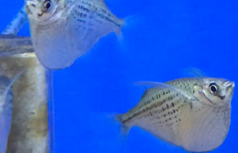 熱帯魚入荷part11 大型ハチェットが水面を制する?!上層に泳がせてみてはいかがでしょうか。