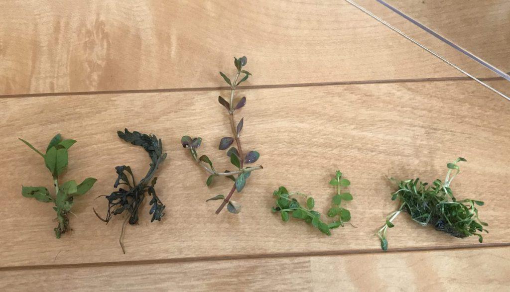 気になる『水耕栽培』を水草でできるかやってみた。