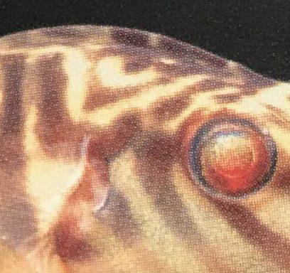 『淡水性フグの世界』あこがれのトップ3種はこれだ!?