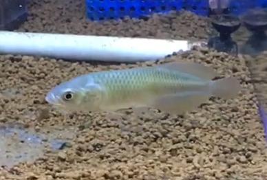 熱帯魚入荷part16 ヘテロティス(ナイルアロワナ)の入荷。