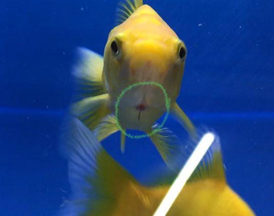 ◆金魚が寄生されました。イカリ虫の治療はサックっと行なう。