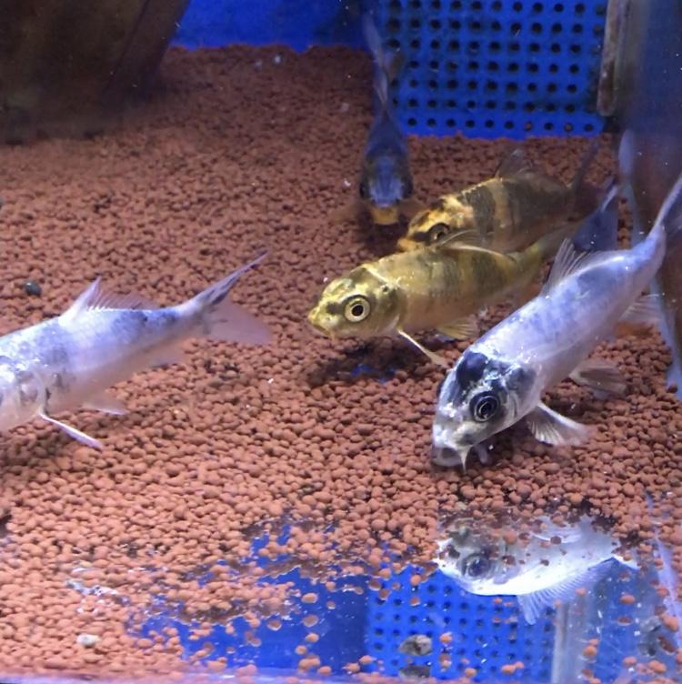 ◆錦鯉が痩せてくるとき・・・餌を増やしても太らないのは病気なのかも?原因は水質かもしれない。