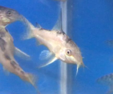 低血圧なコリドラス?!熱帯魚も気分で色が変わる。水合わせで見える変化を観察。