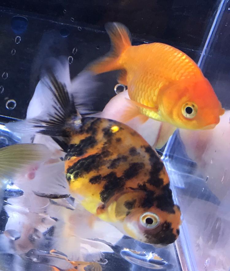 『薩摩産金魚』たち!!!