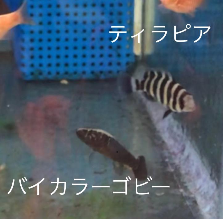 ◆教科書に載らない混泳が日常。ブラッドレッドロージーバルブとティラピア、コームスケールレインボー