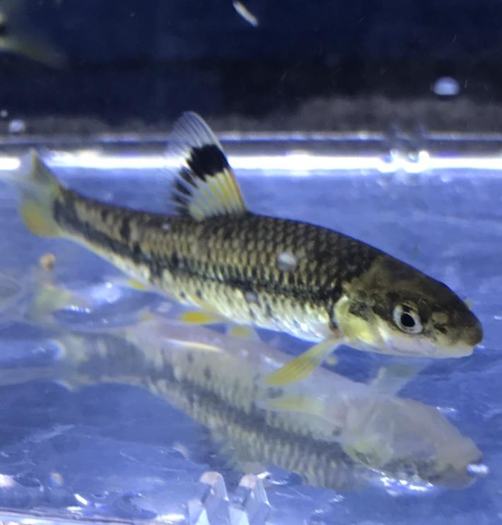 日本列島は長い…馴染みがない日本淡水魚たち。