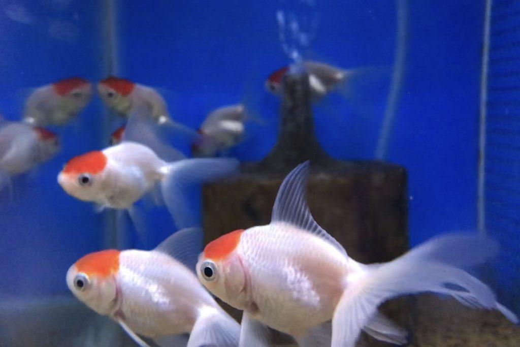 『パンダ模様』より人気あるでしょ。金魚の今年初入荷!!