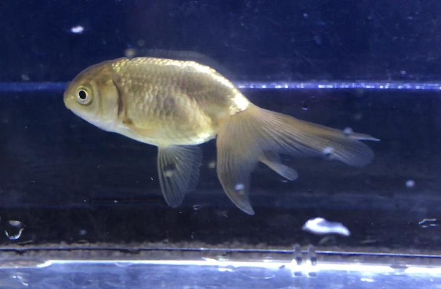 最大30cm?!『津軽錦』(つがるにしき)北国を生き抜く地方金魚は100年の歴史を持つ。通販を含めた販売や価格帯とは