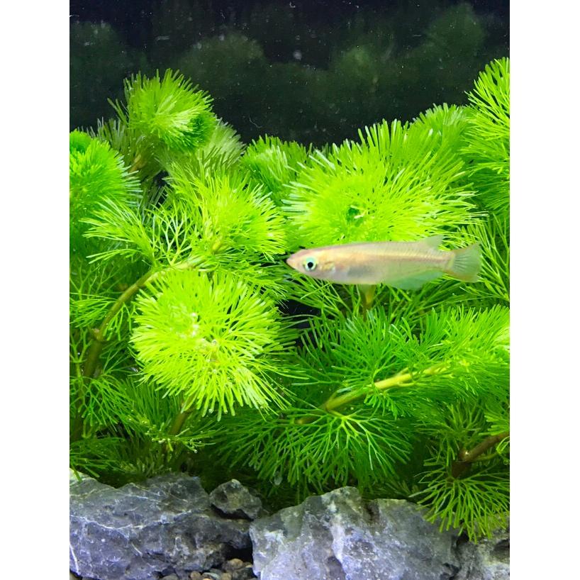 ◆何が違うんだ金魚藻(きんぎょそう)。カボンバ・アナカリス・マツモ 3種の水草の選び方とは。