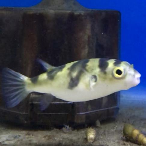 ◆淡水南米フグを飼ってみたら、エサは何を食べる?