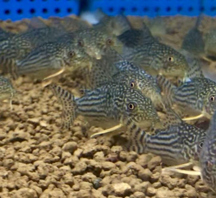 ◆コリドラス・ステルバイ(Corydoras sterbai)も含まれる常識。はじめの飼育や混泳の注意点。