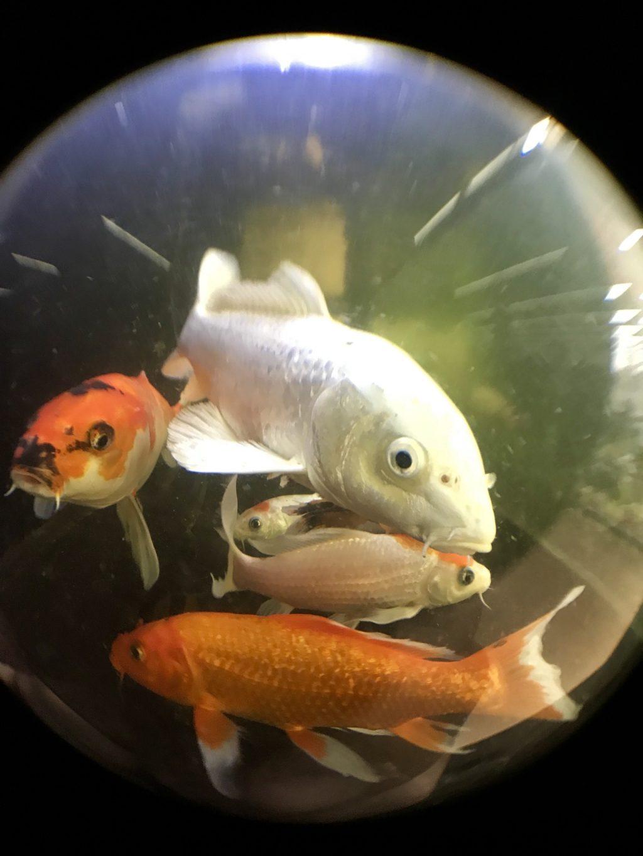 ◆錦鯉の水槽が白く濁ってきた。問題解決はステップを踏んで!