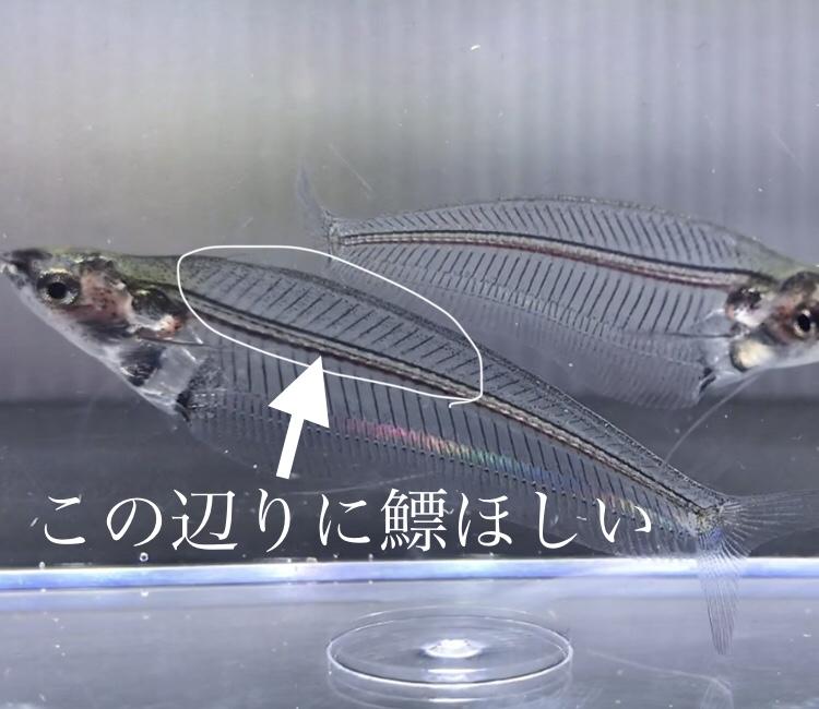◆トランスルーセント・グラスキャット(Kryptopterus bicirrhis)透明だけど見過ごせない進化?