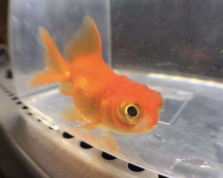 ◆竜眼金魚(りゅがんきんぎょ)は身近な品種の掛け合わせです。