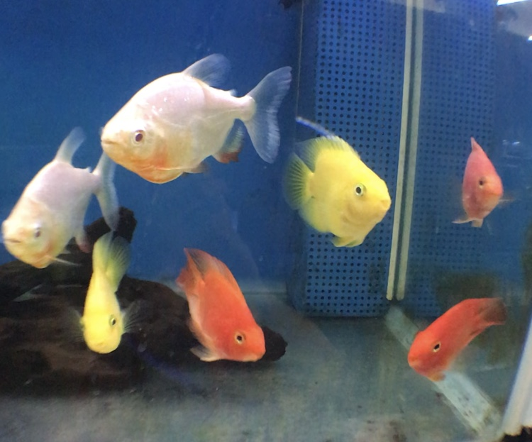 ◆中型熱帯魚の混泳選び方。シクリッド、ナマズ、コイ、カラシン・・・グループを超えて組み合わせる。