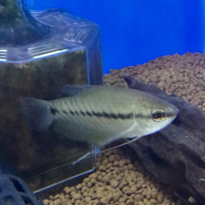◆えっ?!そんなグラミーいたの??スネークスキングラミー(Trichogaster pectoralis)ショップで見ない理由とは。