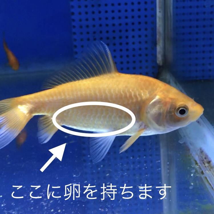◆【写真で説明】金魚のオス♂とメス♀の判断。簡単な見分け方から、白点病との見分け方まで5パターンご紹介します。
