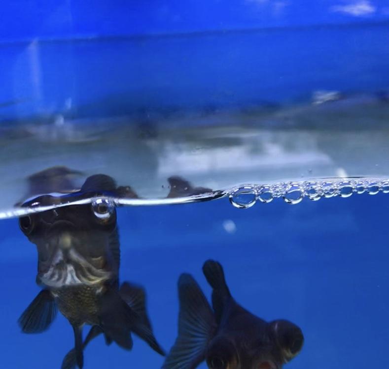 ◆金魚が水面でパクパクしてる原因とは・・・『鼻あげ』する3つの理由とは。