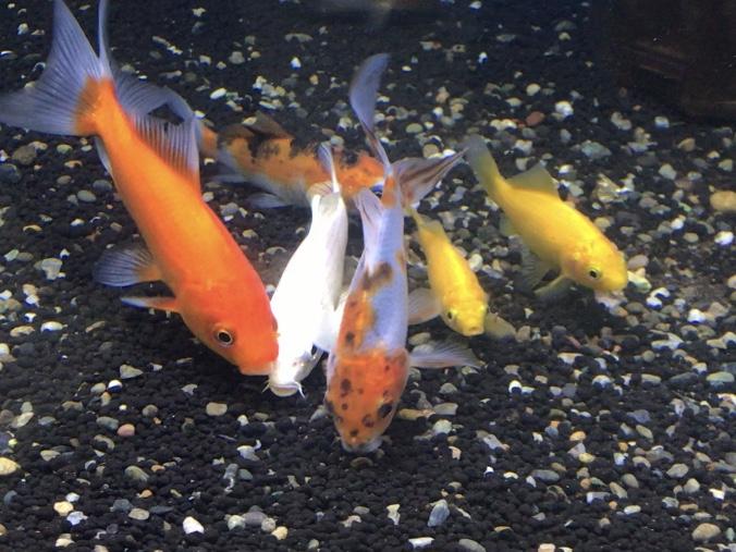 ◆【金魚と錦鯉の混泳説明】一緒に飼うために、失敗しない4つのポイントとは。