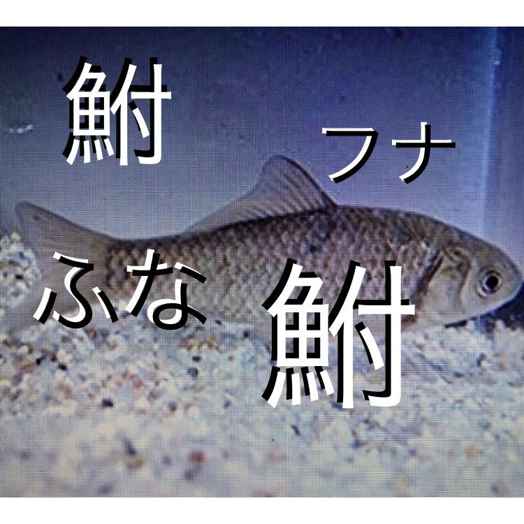 ◆金魚と混泳できる鮒(フナ)4選!!ギンブナ、キンブナ、ヘラブナ、ゲンゴロウブナ、テツギョもか!