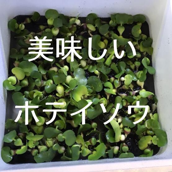◇『sakanaの日常』美味しいホテイソウ