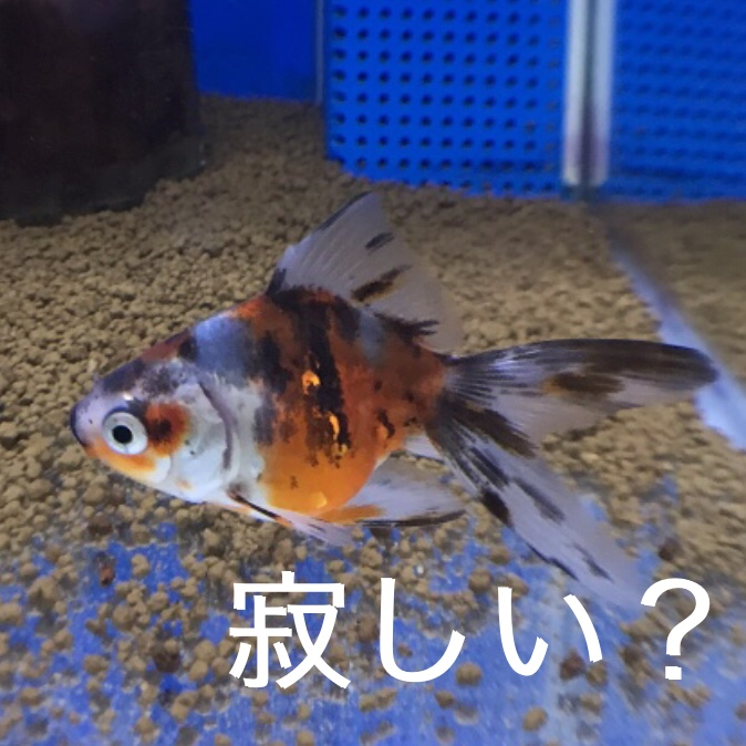 ◆無理に魚は増やさなくて良い。金魚は寂しいのか?考えさせられた。