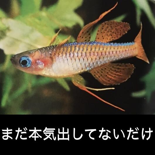 ◆小型美魚レインボーフィッシュ4種類!!すぐには見せない魅力のポテンシャルが凄かった。選び方とは。