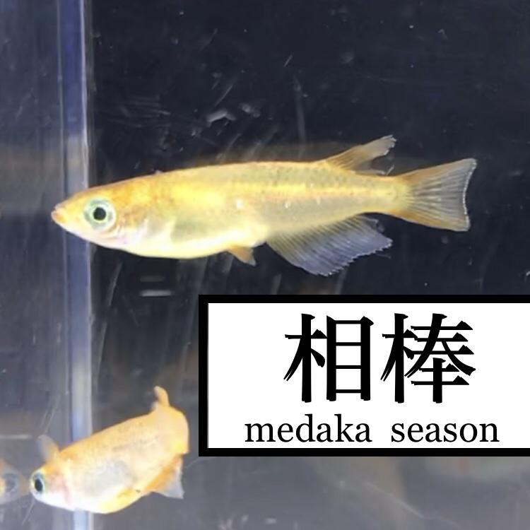◇『sakana』メダカの授業