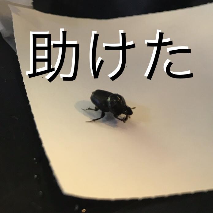 ◇『sakanaの日常』フンコロガシ助けた。