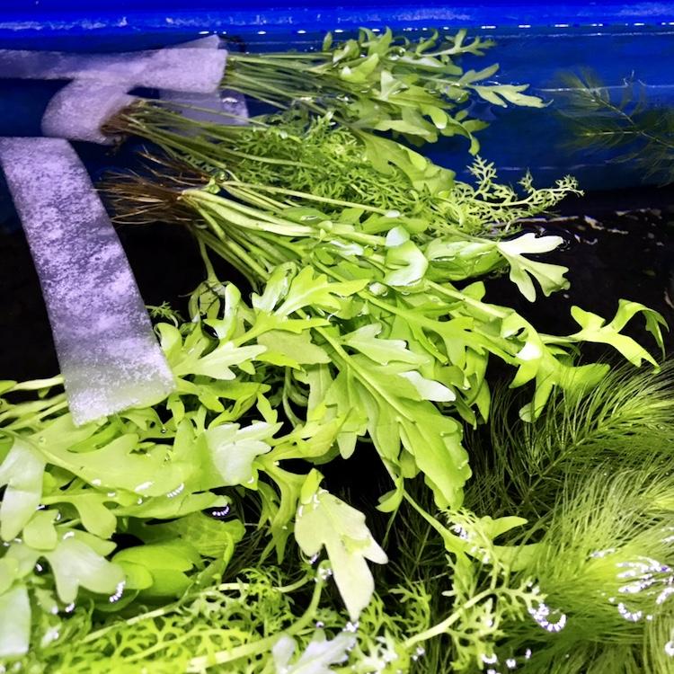 ◆水草が上手く育たない時は、購入直後に浮かべてみると良い。光量が近くて空気中から二酸化炭素を摂取できる。