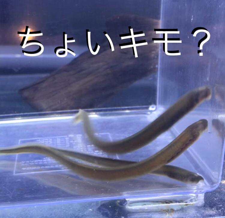 ◇『sakanaの日常』ちょいキモイお魚が入荷しました。