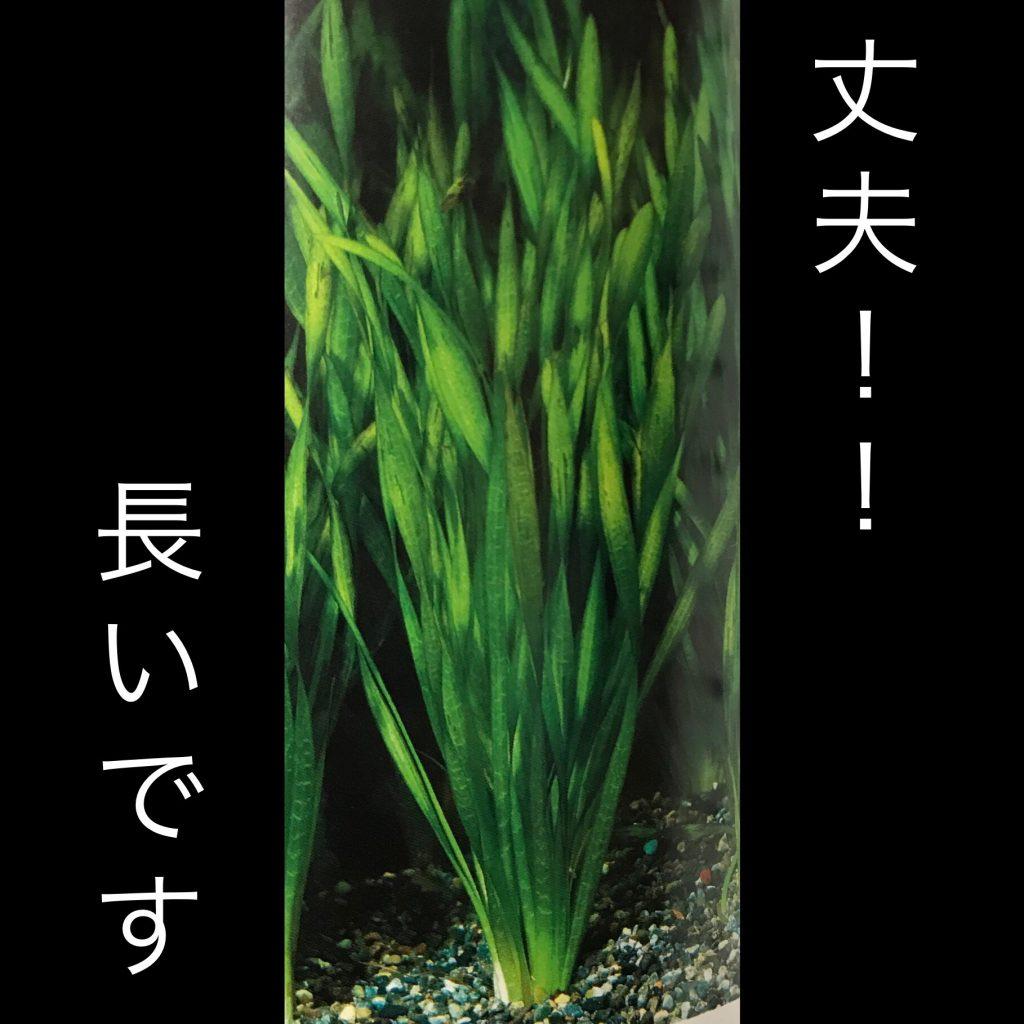 ◆二酸化炭素入れなくても育つ水草。バリスネリア4選。スピラリス、スクリュー、ナナ、ジャイアント?!